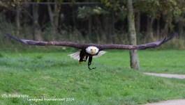 Roofvogelshow Hoenderdaell 2014