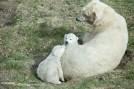 IJsbeertweeling met mama (2)