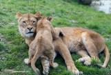 Leeuwen GaiaZOO (2)