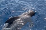 Pilot whale (2)