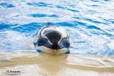 Orca Morgan Loro Parque Tenerife