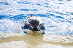 Orca Morgan