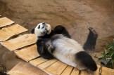 Panda Wu Wen Ouwehands dierenpark