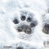 klein leeuwenpootje in de sneeuw