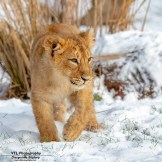 lion cub in the snow