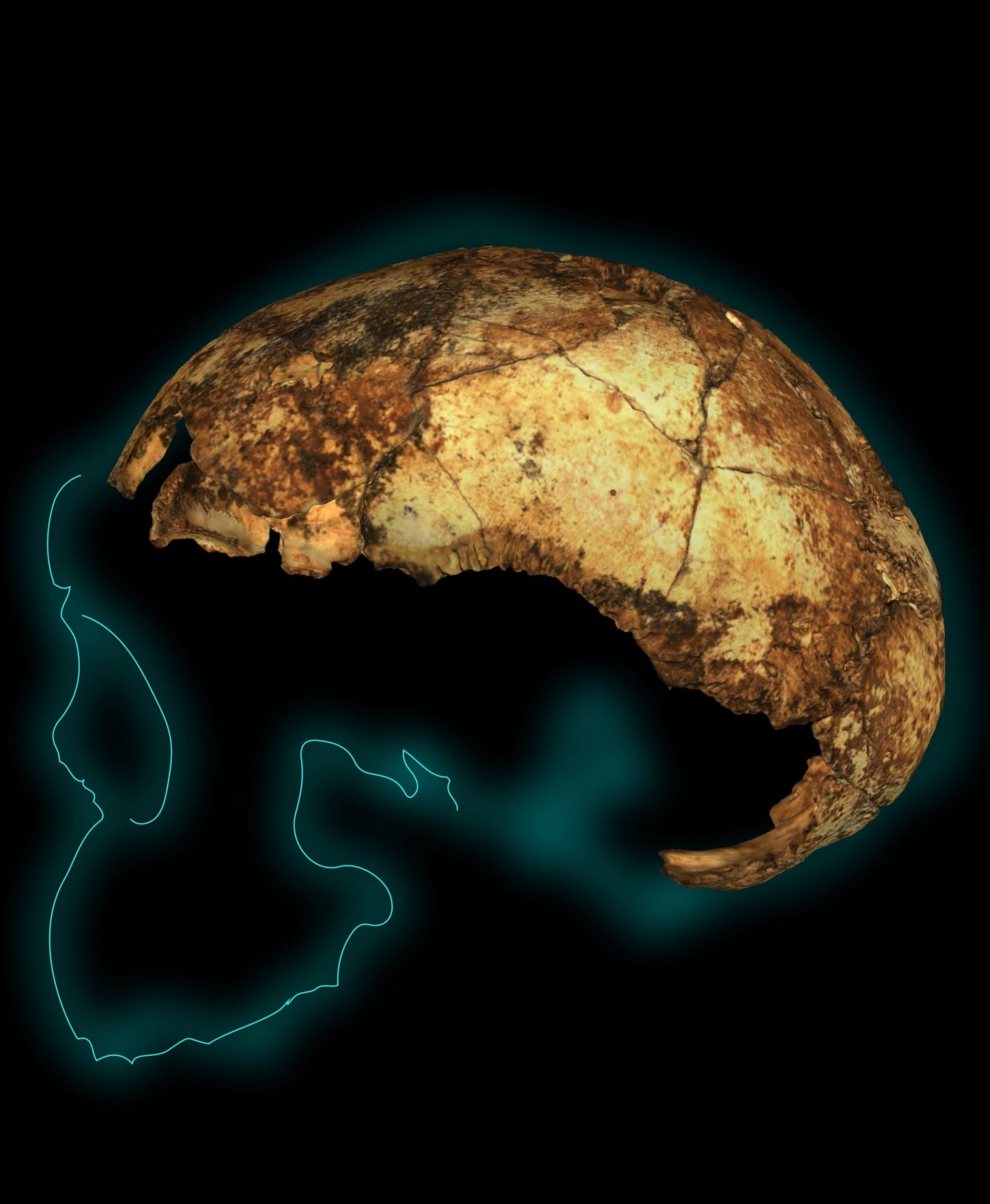 DNH 134 cranium with styalised projection of the outline of the rest of the skull. (Image: Andy Herries, Jesse Martin and Renaud Joannes-Boyau)