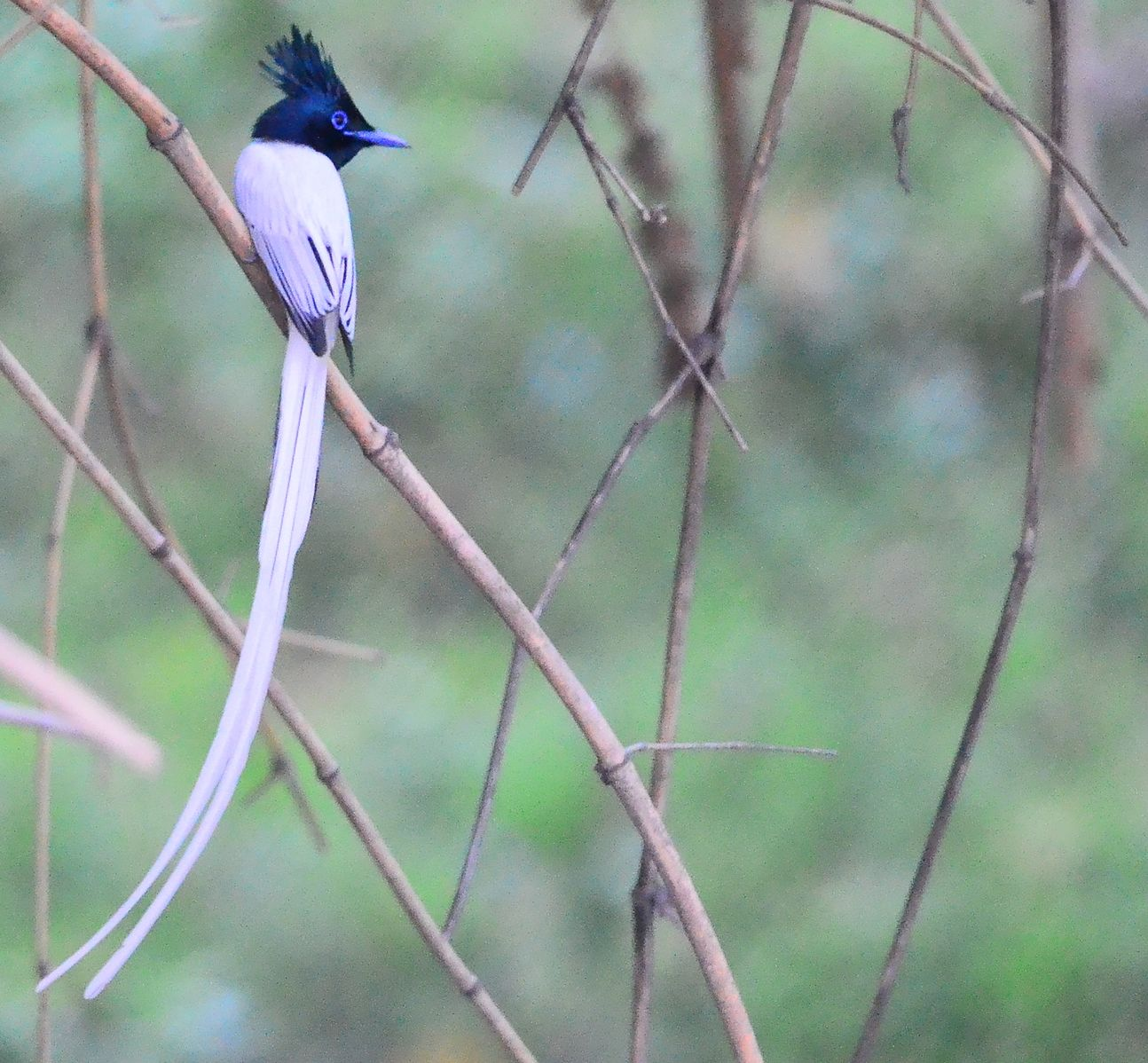 Asian Paradise Flycatcher bird