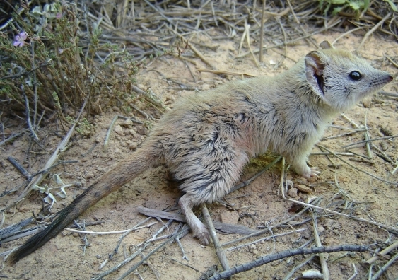 The Crest-tailed Mulgara is a carnivorous marsupial.