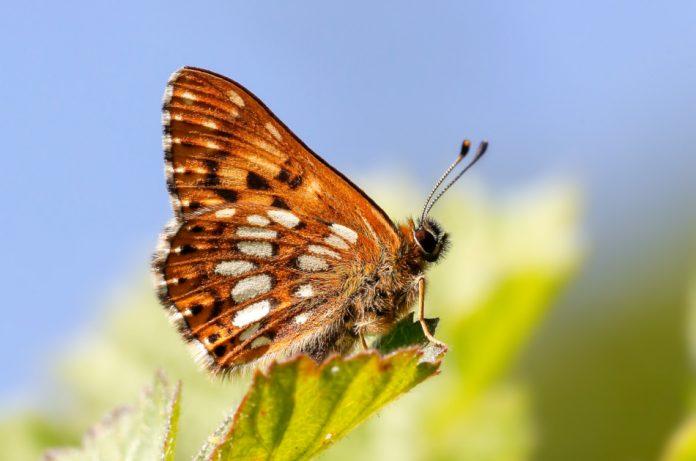 Duke of Burgundy butterfly resting on a leaf.