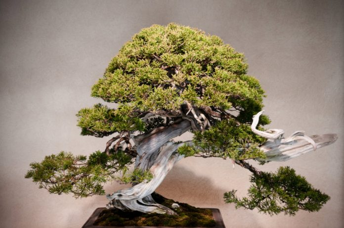 Juniper Bonsai on wooden table in traditional Japanese style room at Omiya Bonsai Museum in Bonsai village.