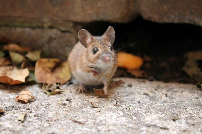 Field Mouse on a brick terrace with little paw up and looking directly at the camera.