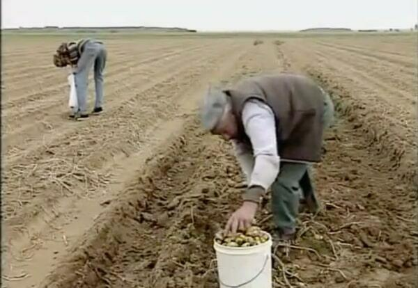 man puts potatoes in bucket in a field