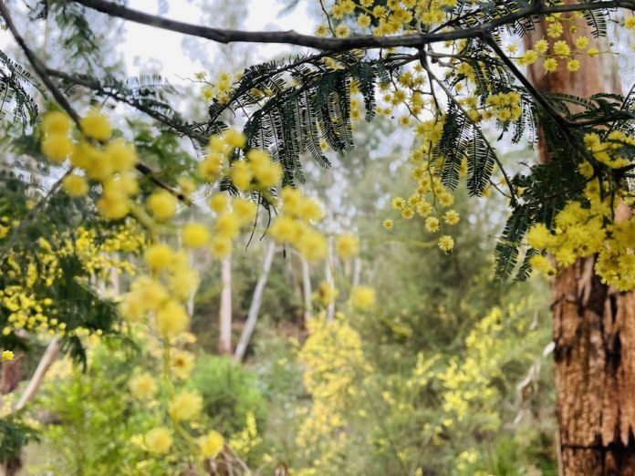 Yellow wattle flowers are small ball like flowers growing in a cluster on a stem of a tree.
