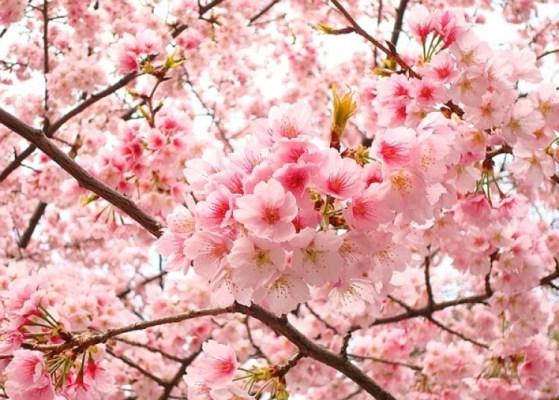 hoa anh đào Hàn Quốc-kinh nghiem du lich han quoc tu a den z