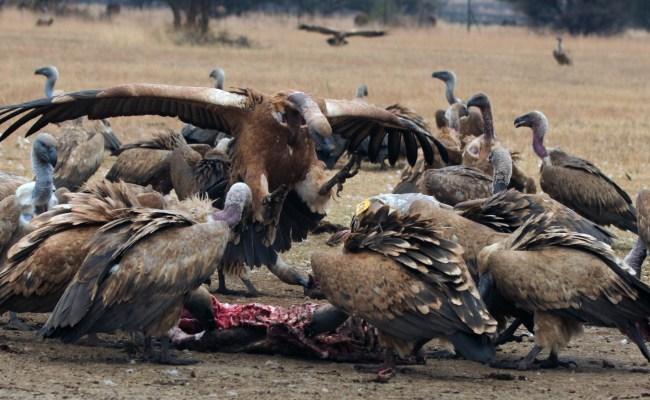 Feeding Vultures Vulpro Kids Corner