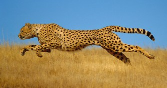 Cheetah (Acinonyx jubatus) running, Kenya (non-ex)