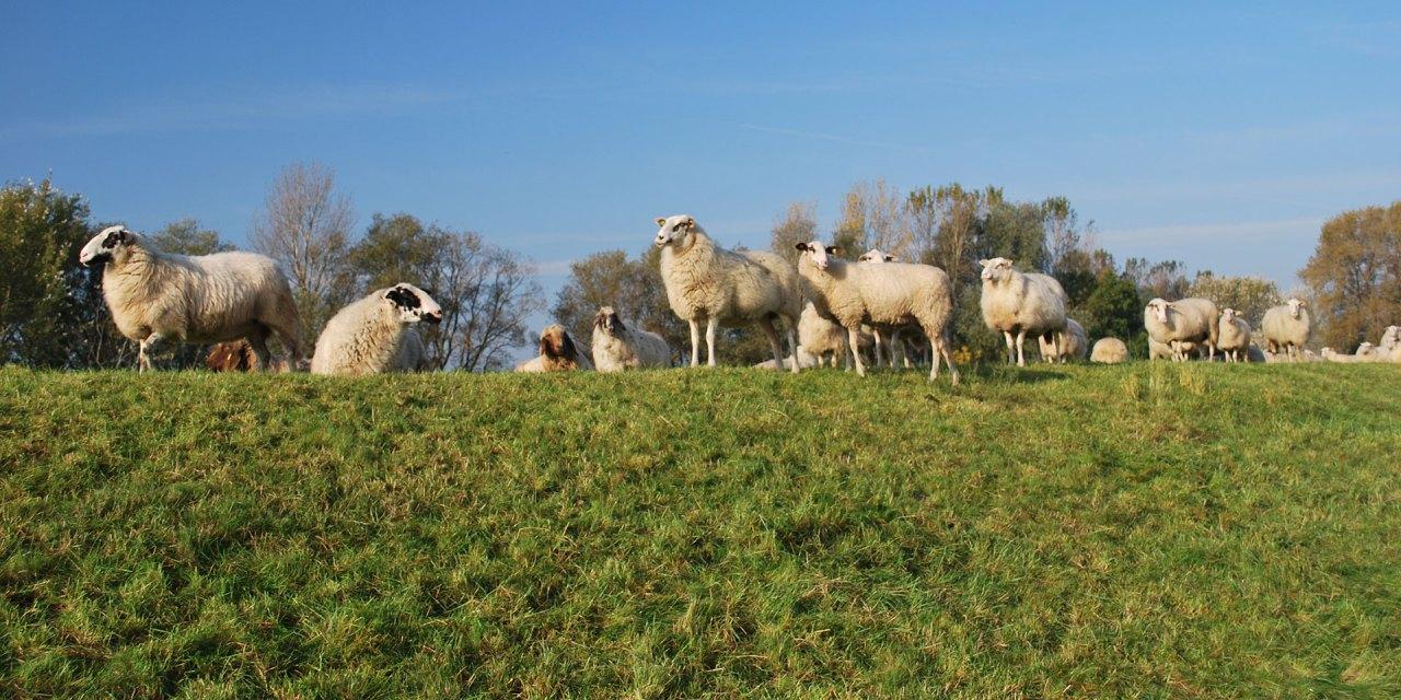 Vierländer Schafe im Einsatz für die Deichpflege
