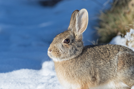 72165455 - cottontail rabbit in snow