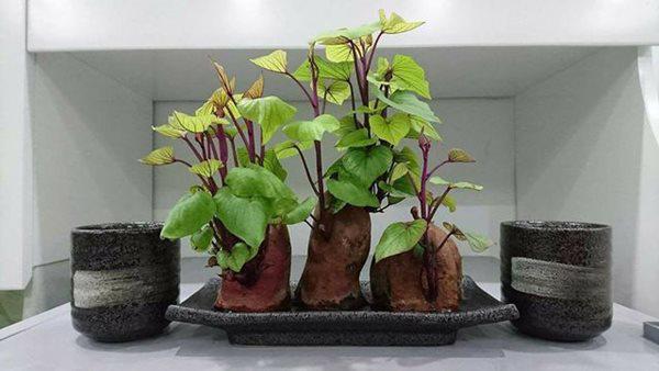 """Trồng khoai lang phiên bản bonsai gây sốt, mất vài nghìn mà """"chảnh"""" như tiền triệu - 2"""