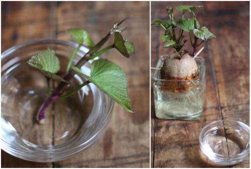 Cách trồng khoai lang trong bao đất bằng mầm ươm từ củ khoai - 7