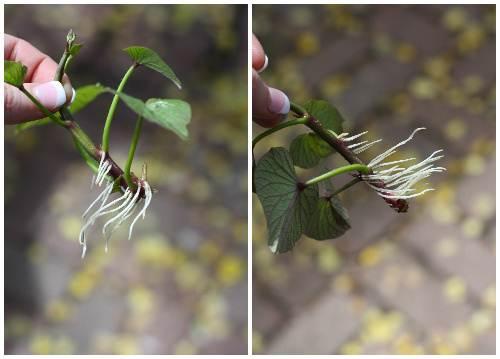 Cách trồng khoai lang trong bao đất bằng mầm ươm từ củ khoai - 8