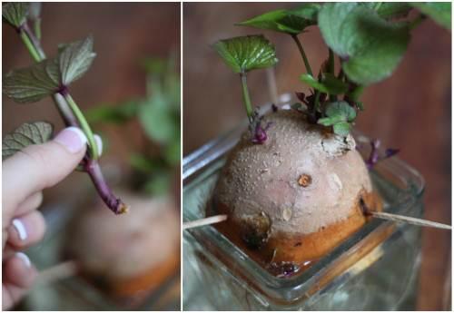 Cách trồng khoai lang trong bao đất bằng mầm ươm từ củ khoai - 6