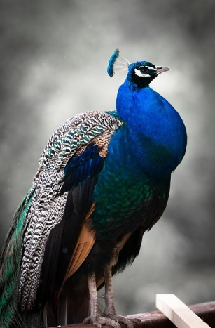 peacock, bird, proud