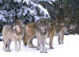 ウルフパック(オオカミの群れ)