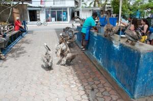 Auch Pelikane müssen sich in einer Reihe anstellen