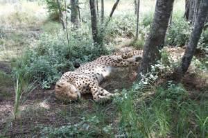 Geparden ganz nah