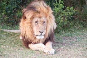 Löwenrudel im Schotia Gamereserve