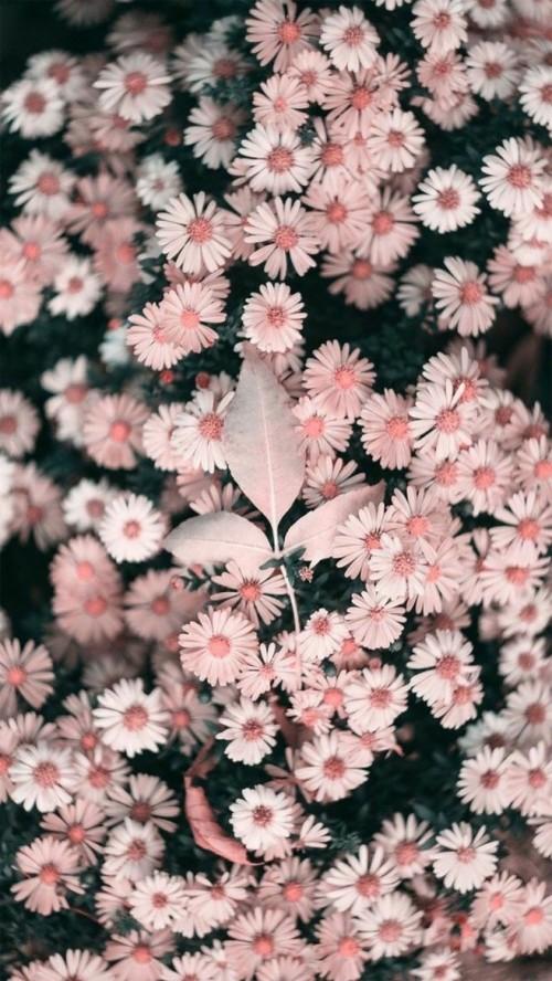 fond d ecran fleur iphone fleur mur