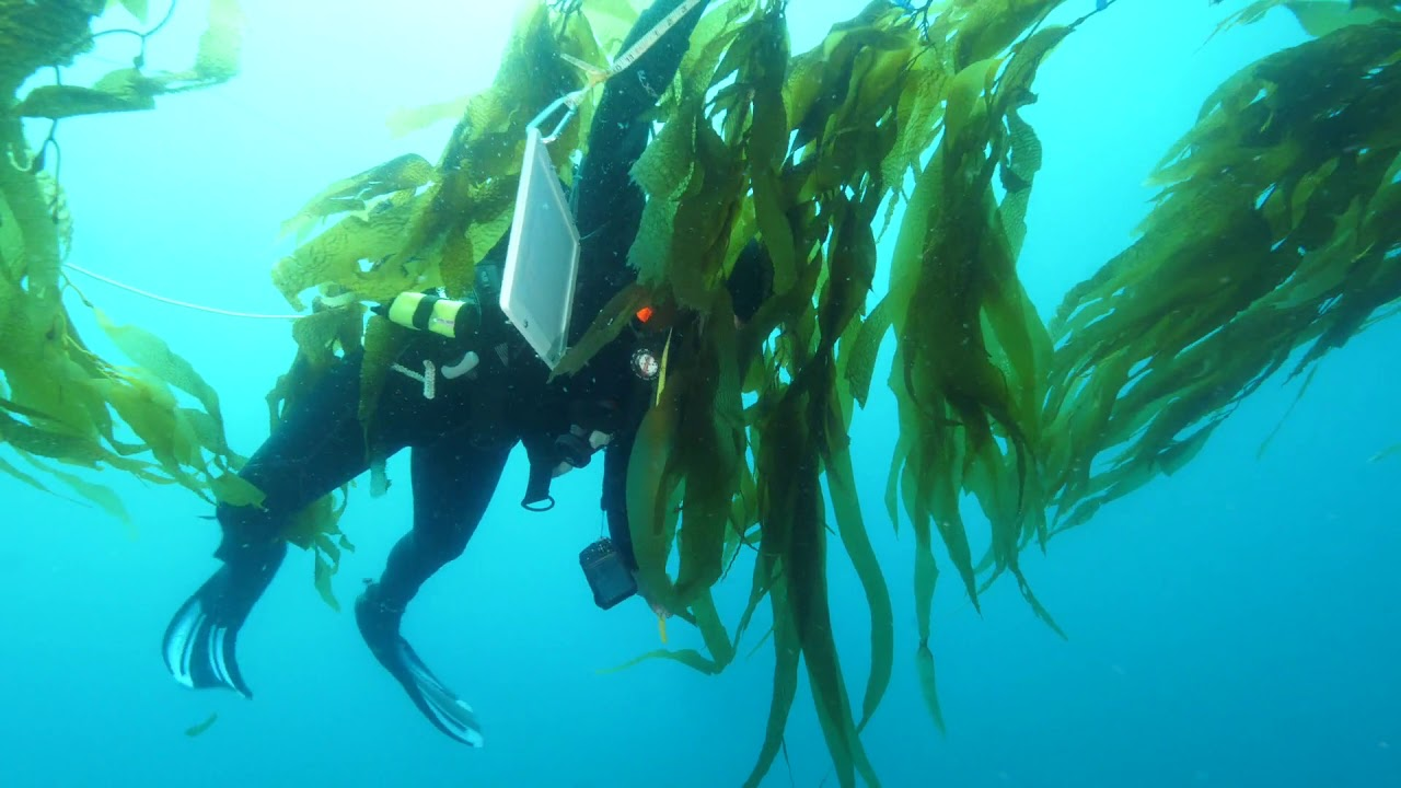 Could Our Energy Come from Giant Seaweed Farms in the Ocean