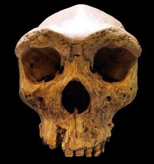 800px-Broken_Hill_Skull_(Replica01)