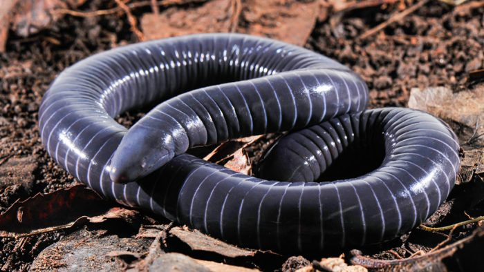 070120_cw_caecilian_feat-1028x579
