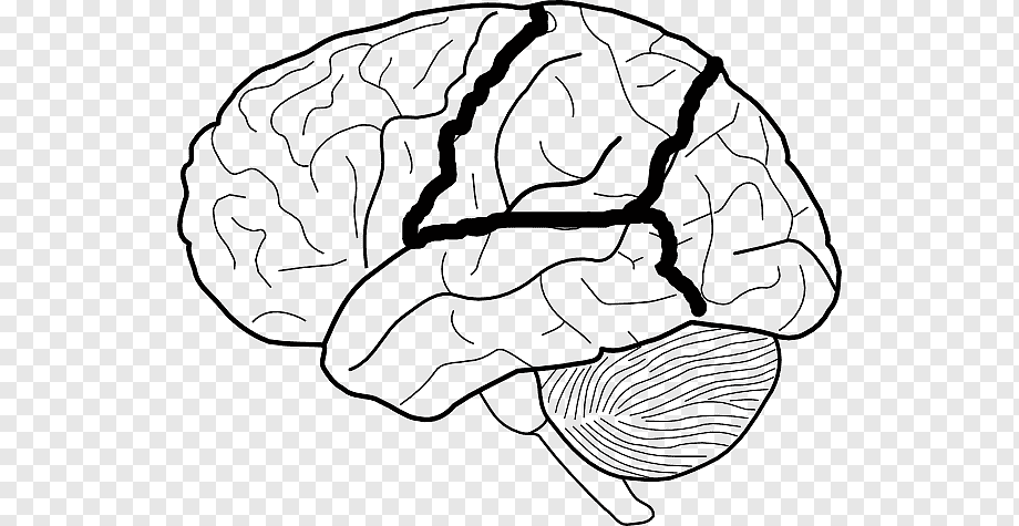 Blank Nervous System Diagram / Worksheets On Nervous