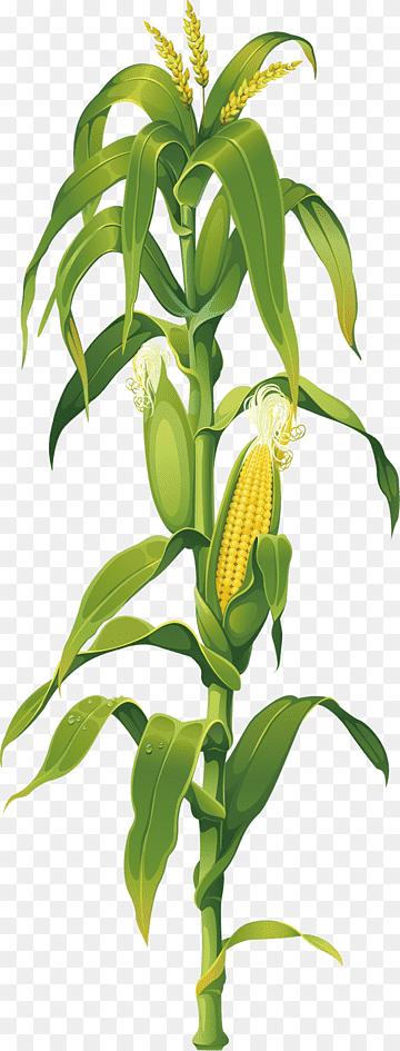 Gambar Sayuran Jagung : gambar, sayuran, jagung, Jagung, Rebus, Sayuran, Manis, Salad,, Jagung,, Makanan,, Bayam,, Bawang, Merah, PNGWing