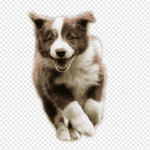 Brown And White Border Collie Puppy Border Collie Catahoula Cur Australian Shepherd Bullmastiff Australian Cattle Dog Run The Dog Baby Animals Pet Dog Like Mammal Png Pngwing