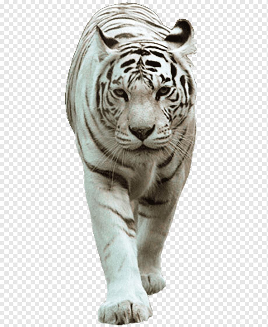 Gambar Harimau Png : gambar, harimau, Felidae, White, Tiger, Lion,, Mammal,, Animals,, Mammal, PNGWing