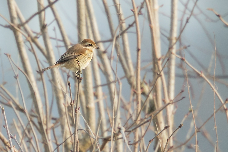 Brown shrike in Netterden, photo © Arno ten Hoeve