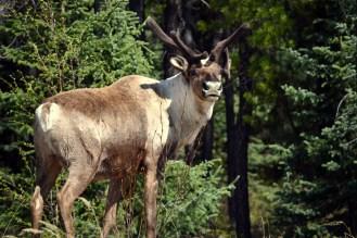 The caribou of my life! Yukon