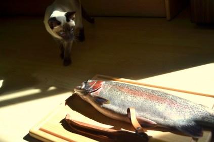 Rainbow trout. Yukon