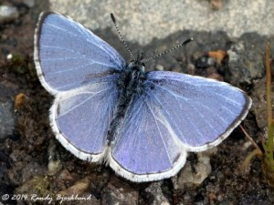 Photo from http://www.butterfliesandmoths.org/species/Celastrina-echo