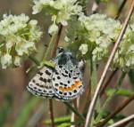 Euphilotes-battoides-ovipositingTwinLakesBLMLincolnCoWA06052015