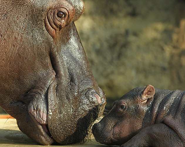 Baby Hippo with Mom