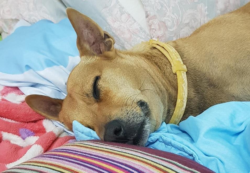 毛孩偷舔醬汁「洋蔥中毒」亡 10種狗不能吃的食物 - 哇靠!洛杉磯 : 哇靠!洛杉磯
