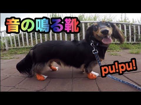 犬に音の鳴る靴を履かせたら可愛すぎたwww