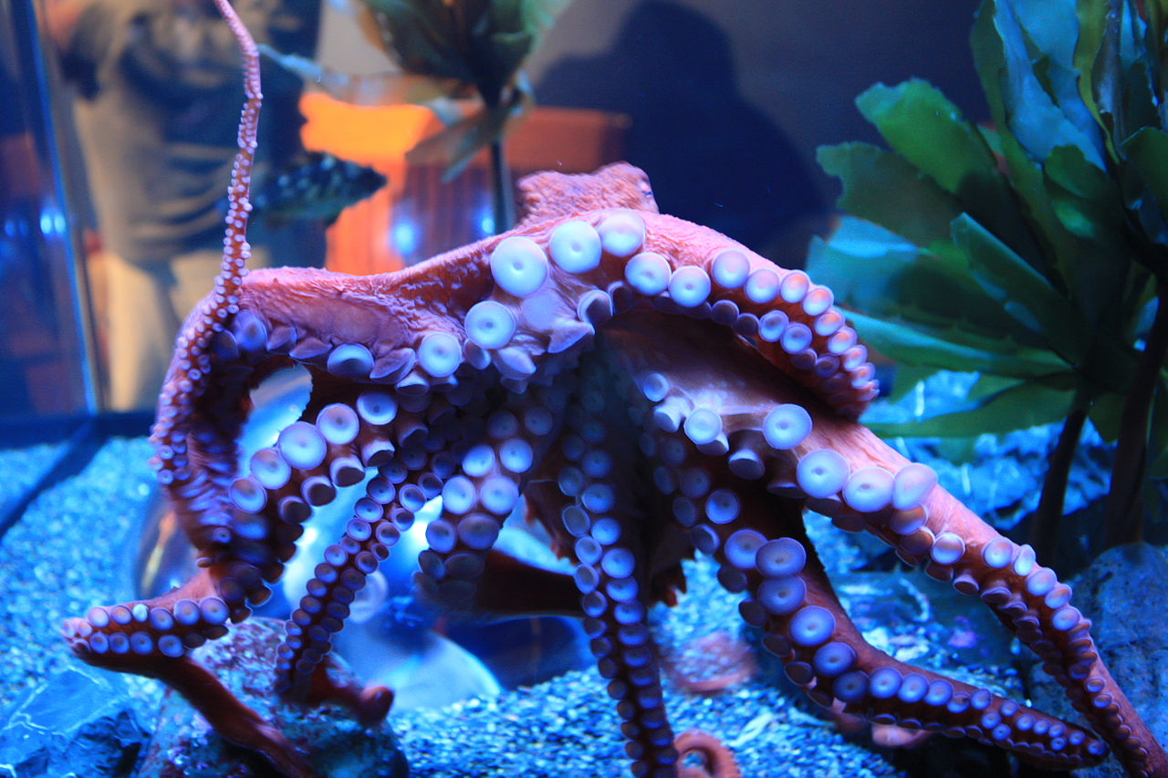 Giant Pacific Octopus in tank