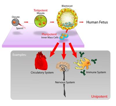 ce sunt celulele stem