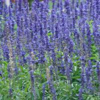 Mealycup sage garden Vienna